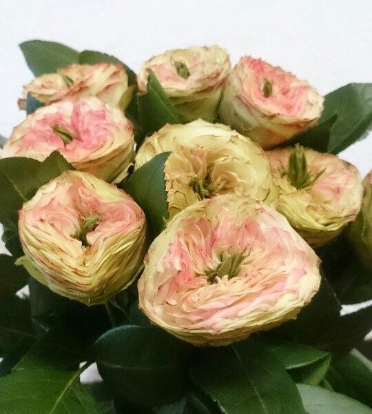 Роза латин помпон 50-60 см, роза, розы,