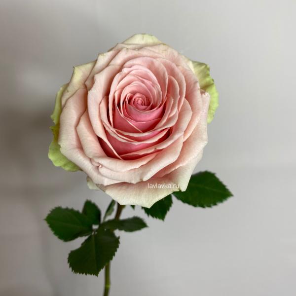 Роза импорт микс 50 см, желтые розы, оранжевые розы, роза, розовые розы, розы, розы микс, сиреневые розы, цветная роза,
