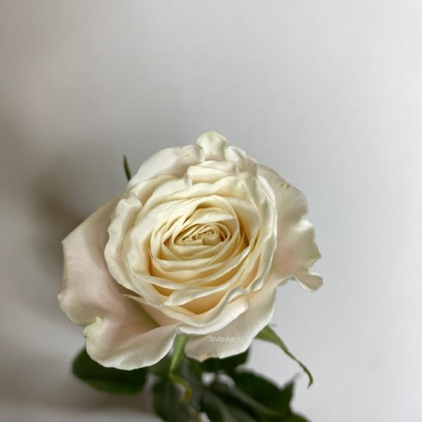 Роза плая бланка 50 см, белые розы, роза, розы, розы 50 см, розы на 14 февраля, розы на 8 марта, цветы на 14 февраля, цветы на 8 марта,