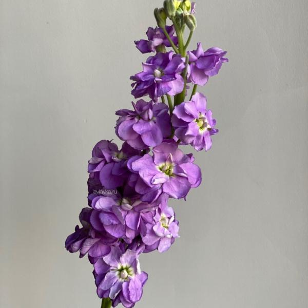 Маттиола (микс), матиола, маттиола, полевые цветы,