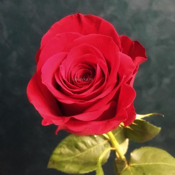 Роза импорт фридом 60 см, алая роза, бордовая роза, винная роза, красная роза, красные розы на 14 февраля, красные розы на 8 марта, роза, роза фридом, розы, цветы на 14 февраля, цветы на 8 марта,