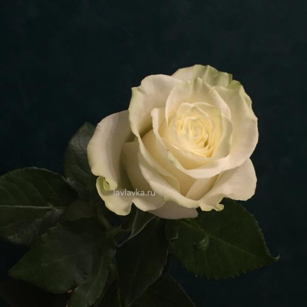 Роза импорт мондиаль 50 см, белая роза, зеленая роза, роза, розы, цветы на 14 февраля, цветы на 8 марта,