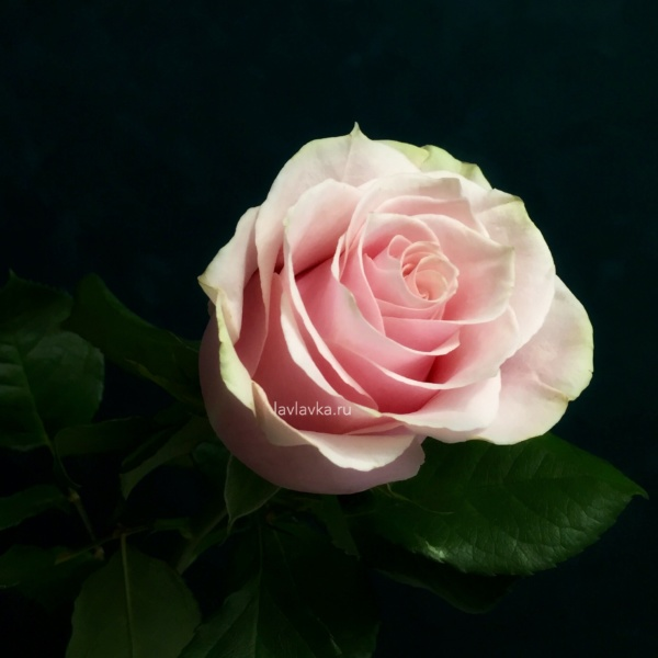 Роза импорт пинк мондиаль 60 см, припыленная роза, пудровая роза, пудрово розовая роза, роза, роза мондиаль, розовая роза, розы, розы на 14 февраля, розы на 8 марта, цветы на 14 февраля, цветы на 8 марта,