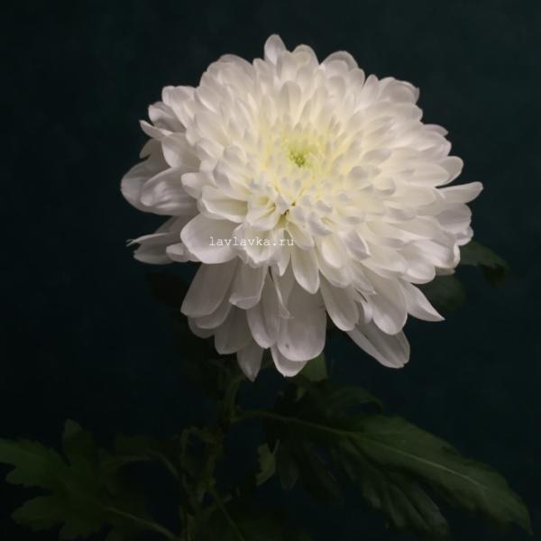 Хризантема стандартная, астра, хризантема, хризантема белая, хризантема одноголовая,