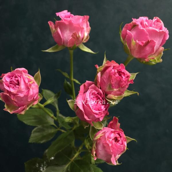Роза кустовая пионовидная леди бомбастик 50-60 см, кустовая пионовидная роза, кустовая роза, малиновая роза, пионовидная роза, роза, роза бомбастик, роза леди бомбастик,