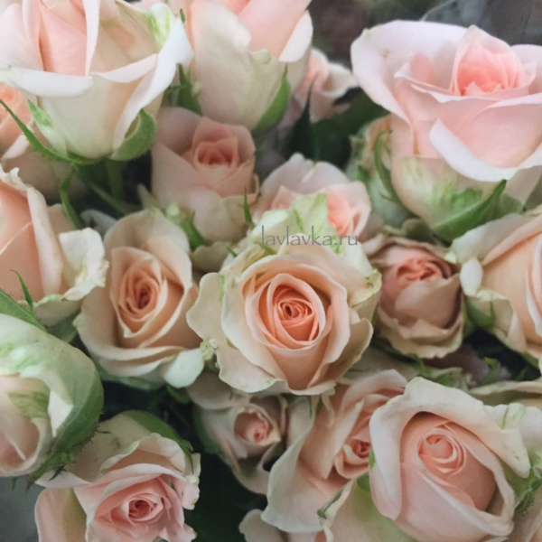 Роза кустовая 40 см (микс) Кения, белые розы, кустовая роза, кустовая розовая роза, кустовые розы, роза, роза кенийская, роза кения, розы кении,
