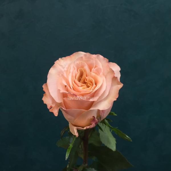 Роза импорт шиммер 50 см, кремовая роза, персиковая роза, роза, роза шиммер, розы, шиммер,