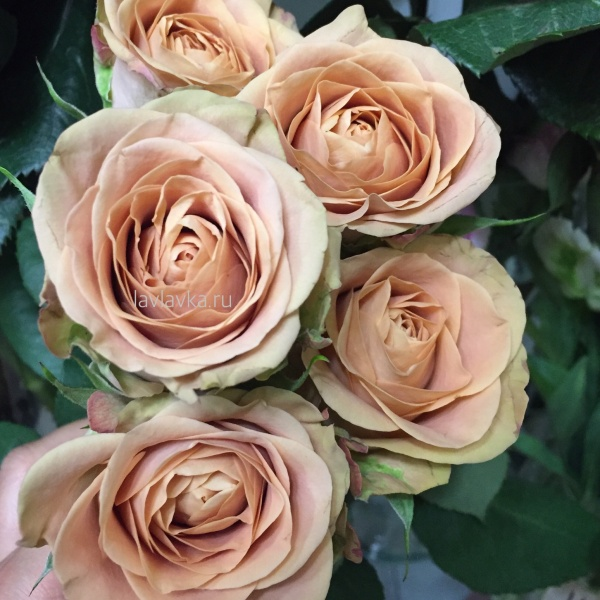 Роза каппучино голландия 50 см, карамельная роза, коричневая роза, кофейные розы, роза, роза каппучино, роза капучино, розы, шоколадные розы,