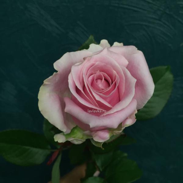 Роза Россия (микс) 60 см, роза, роза мисс пигги, роза пенни лайн, роза россия, роза россия маритим, роза россия пинк, розы, российская роза,