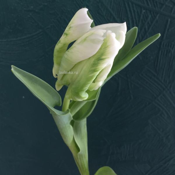 Тюльпан супер паррот, попугайный тюльпан, сортовой тюльпан, тюльпан, тюльпан супер паррот,