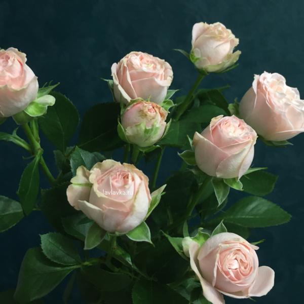 Роза кустовая пионовидная бомбастик 50 см, пионовидная роза, роза,