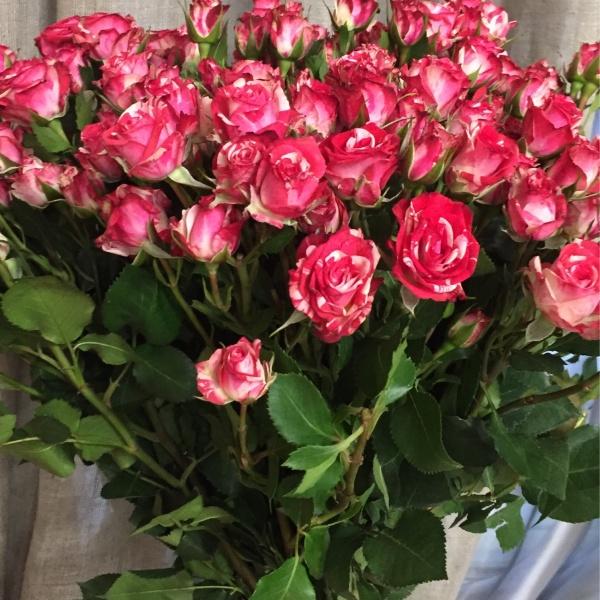 Роза кустовая фаерворк 70 см, 51 кустовая роза, бело-розовая роза, букет из кустовых роз, кустовая роза, роза,