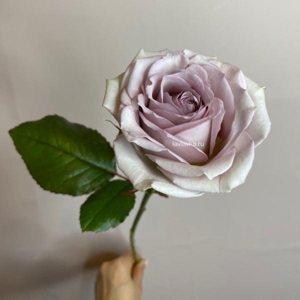 Роза монинг дью 50 см (Голландия), голландская роза, пепельная роза, припыленная роза, пудровая роза, роза, роза монинг дью, Роза суэз, сиреневая роза,