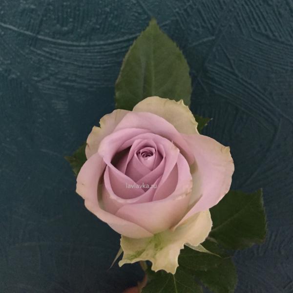 Роза монинг дью 50 см (Голландия), голландская роза, пепельная роза, припыленная роза, пудровая роза, роза, роза монинг дью, сиреневая роза,