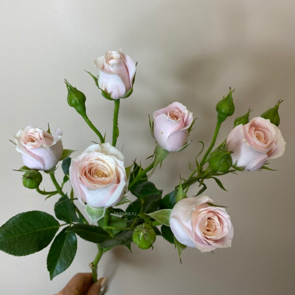 Роза кустовая (микс ) 50-60 см, алая кустовая роза, красная кустовая роза, красная роза, кустовая роза, роза микс,