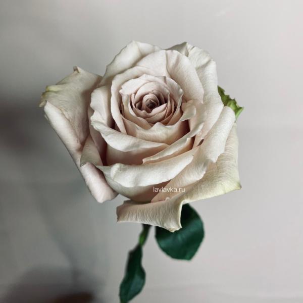 Роза импорт квик сенд 50 см, бежевая роза, песочная роза, пудровая роза, пыльная роза, роза, Роза квик сенд, розы на 14 февраля, розы на 8 марта, цветы на 14 февраля, цветы на 8 марта,