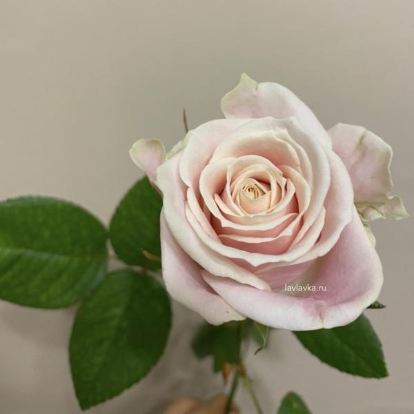 Роза свит аваланч  (россия) 50см, бежевая роза, кремовая роза, роза, роза россия, роза россия талея, роза талея, российская роза, цветы на 14 февраля, цветы на 8 марта,