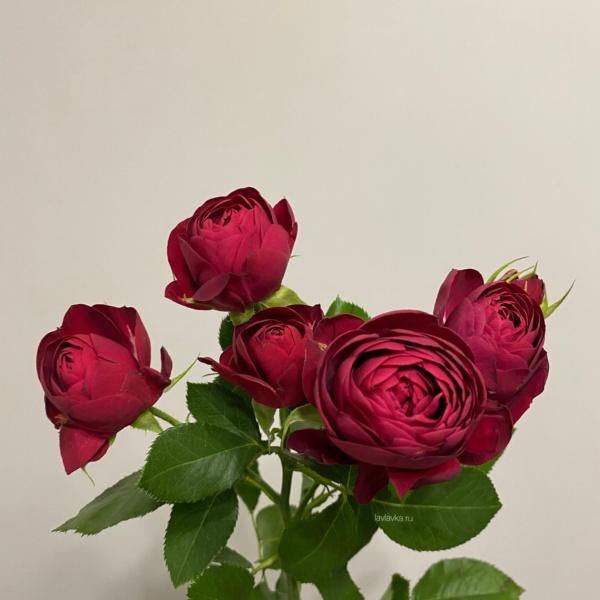 Роза пионовидная кустовая ред лейс 40-50 с, красная пионовидная роза, малиновая роза, пионовидная роза, роза кустовая пионовидная,