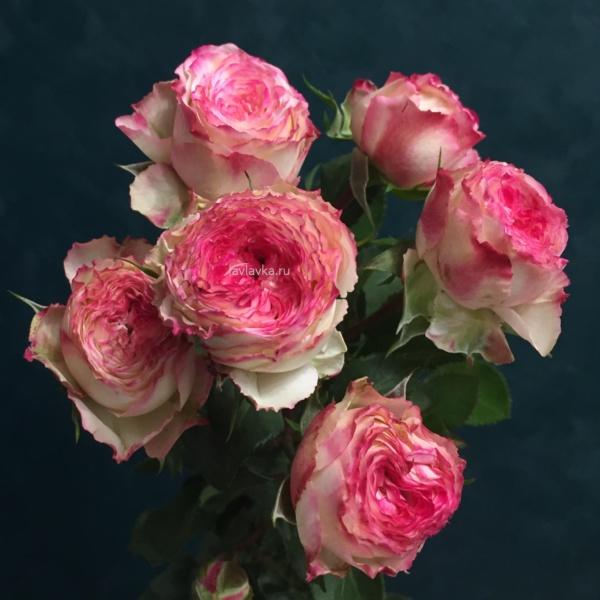 Роза кустовая пионовидная грув (микс) розовая 60 см, кустовая пионовидная роза, пионовидная роза, роза кустовая, розовая пионовидная роза, розовая роза,