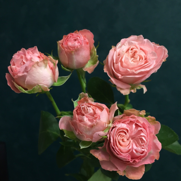 Роза кустовая пионовидная мадам бомбастик 50-60 см, кустовая роза, пионовидные розы, роза кустовая пионовидная, роза мадам бомбастик, роза пионовидная,