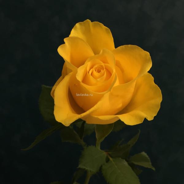 Роза кения 35-40 см, кенийская роза, мини роза, роза кении, роза кения,