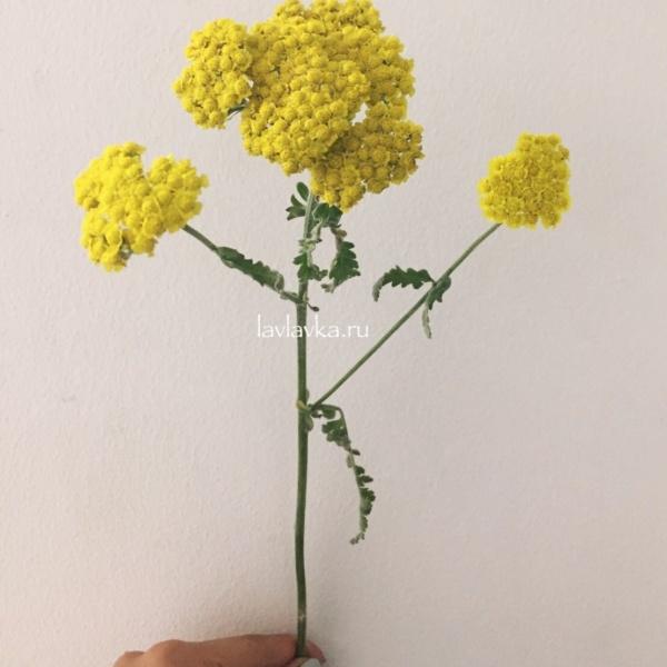 Ахилея (микс), ахилея, ахилея желтая, ахилея розовая, сухоцвет,