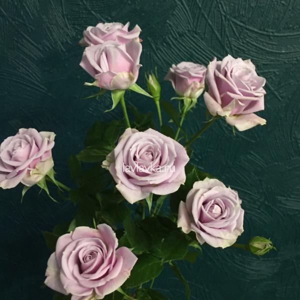 Роза кустовая сильвер шедов 60-70 см, кустовая роза, роза сильвер шедов, сиреневая кустовая роза,