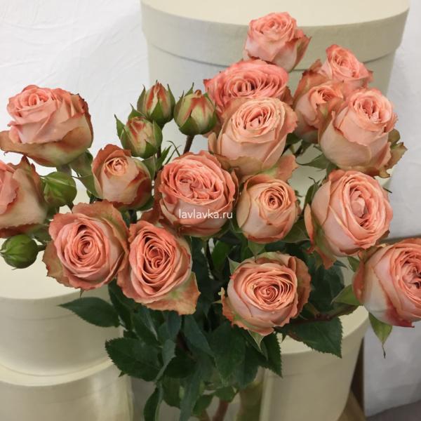Роза пионовидная кустовая санмастер лайт 50-60 см, кустовая пионовидная роза, кустовая роза, пионовидная роза, роза каппучино, роза пионовидная, роза санмастер лайт, терракотвая роза,