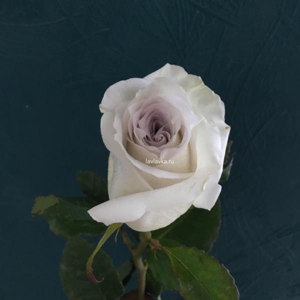 Роза импорт эрл грей 50 см, пепельная роза, припыленная роза, пудровая роза, роза, роза импорт, роза эрл грей,