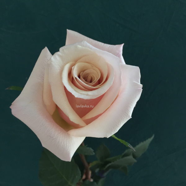 Роза импорт мазер оф перл 50 см, бежевая роза, песочная роза, пудровая роза, роза, роза мазер оф перл, розы на 14 февраля, розы на 8 марта, цветы на 14 февраля, цветы на 8 марта,