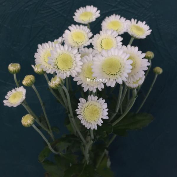 Хризантема сталлион белая, сталлион, сталлион белый, хризантема, хризантема кустовая, хризантема сталлион,
