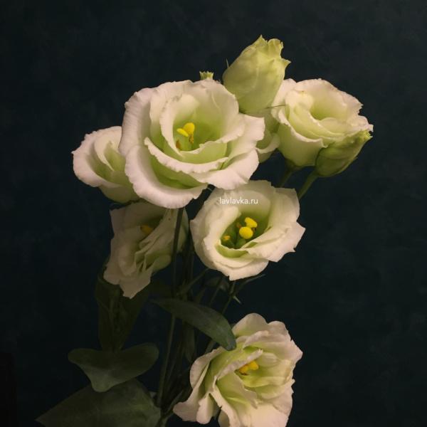 Лизиантус (эустома) розита грин, лизиантус, лизиантус зеленый, лизиантус розита грин, эустома, эустома зеленая, эустома розита грин,