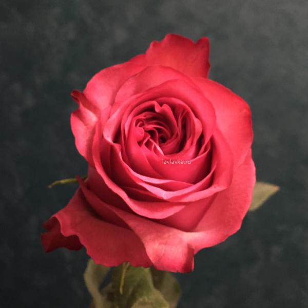 Роза импорт лола 50 см, лиловая роза, малиновая роза, роза, роза импортная, роза лола, розовая роза, цветы на 14 февраля, цветы на 8 марта,