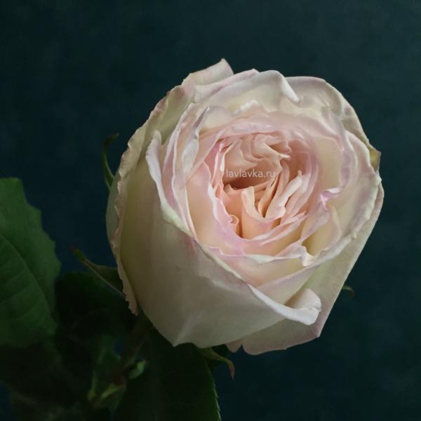 Роза пионовидная вайт о хара 50 см, ароматные розы, белая пионовидная роза, пионовидная роза, пионовидные розы, пудровая пионовидная роза, пудровая роза,