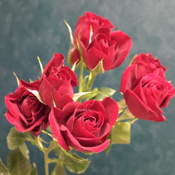 Роза кустовая красная (микс субати) 50-60 см, алая кустовая роза, красная кустовая роза, красная роза, кустовая роза, роза микс,