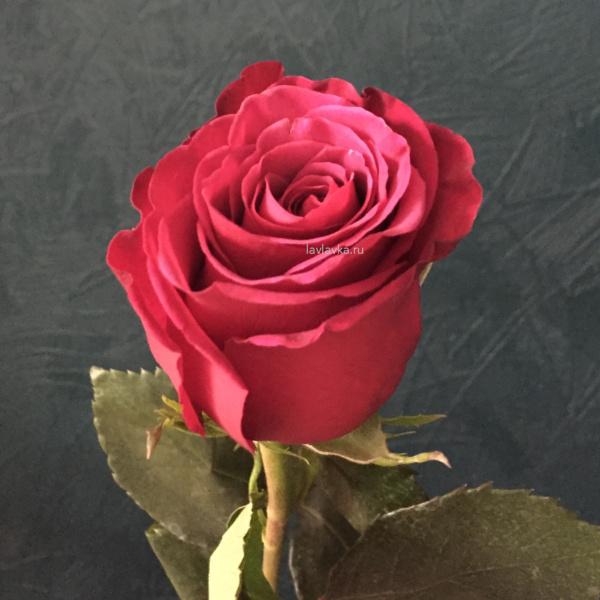 Роза импорт росберри 50 см, малиновая роза, роза 50 см, роза алая, роза импортная, роза росберри, цветы на 14 февраля, цветы на 8 марта,