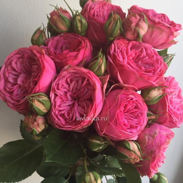 Роза пинк пиано фрейленд 40-50 см, пионовидная роза, пионовидные розы, роза пинк, роза пинк пиано фрейленд, розы,