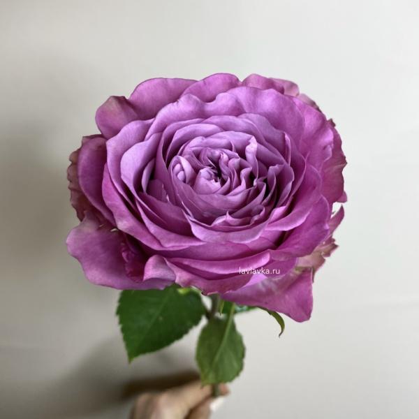 Роза Куинс краун 50 см, роза пионовидная,