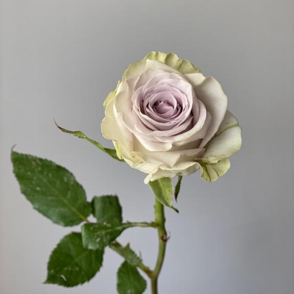 Роза монинг дью 50 см, пудровая роза, пыльная роза, роза монинг дью, сиреневая роза,