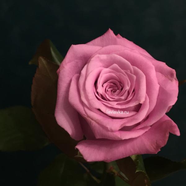 Роза россия маритим 50 см, роза маритим, роза россии, российская роза, сиреневая роза,