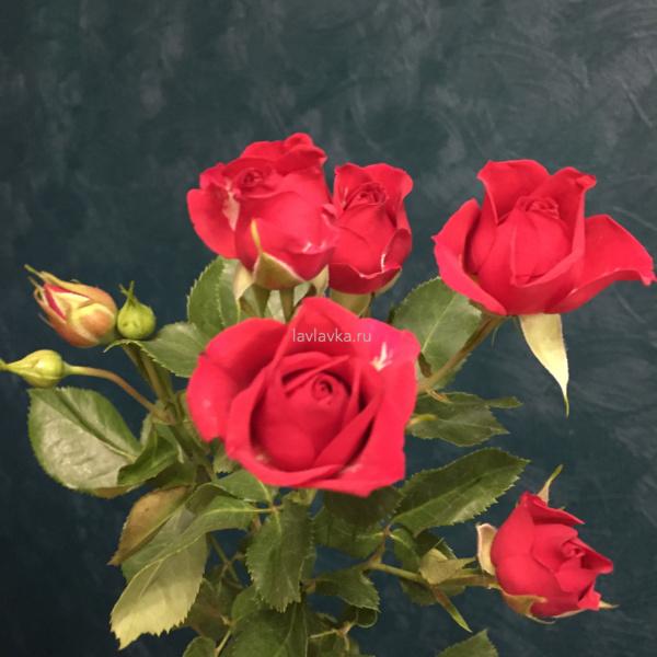Роза кустовая голландия 50 см (микс), красная роза, роза голландия, роза кустовая красная, роза мини,