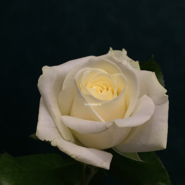 Роза аваланш  (россия) 50 см, белая роза, кремовая роза, роза аваланч, роза аваланш, роза россии, розо россия, российская роза,