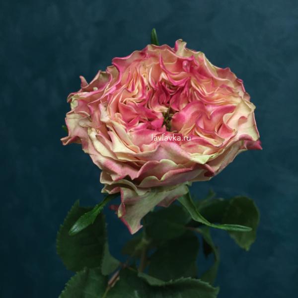Роза сплэш ай 50 см, роза махровая, роза пионовидная, роза сплэш ай,
