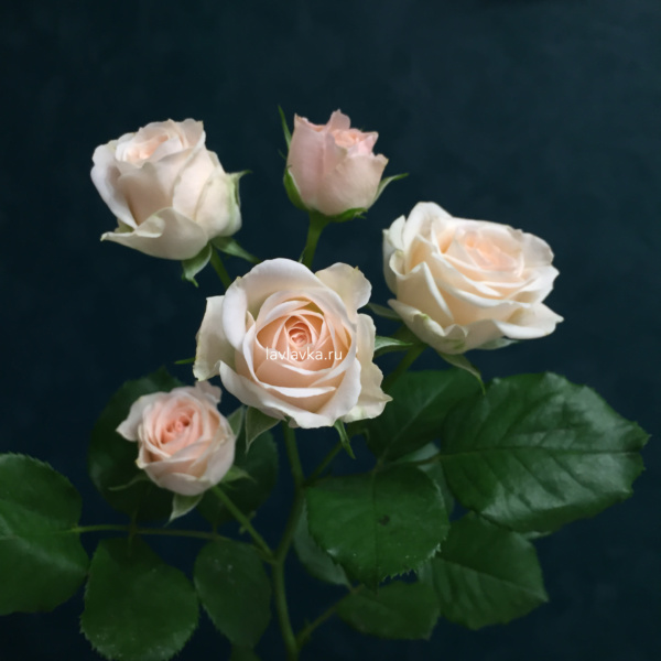Роза кустовая яна (импорт) 50 см, кремовая роза, кустовая роза, персиковая кустовая роза, персиковая роза, роза кустовая яна, роза яна,