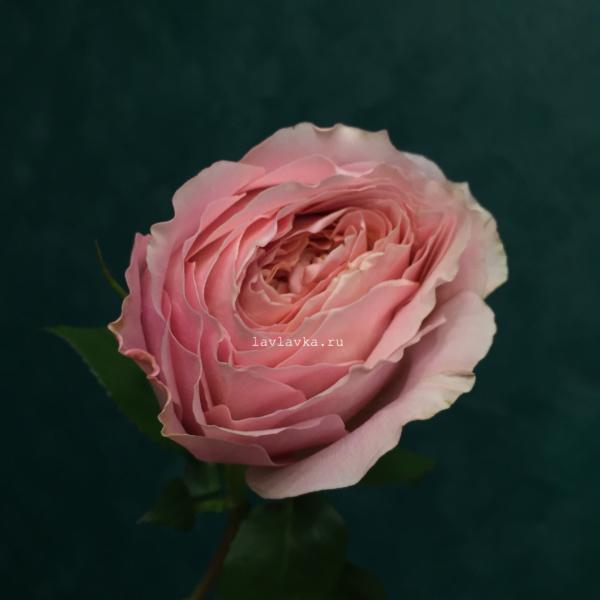 Роза пионовидная романтик антик 40-50 см, пионовидная роза, пионовидные розы, роза, роза романтик антик, розовая пионовидная роза,