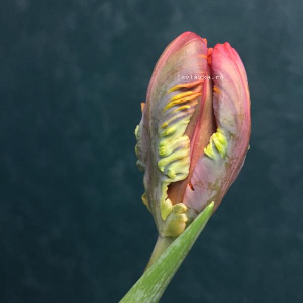 Тюльпан рококо, красный тюльпан, махровый тюльпан, попугайный тюльпан, тюльпан, тюльпан рококо,