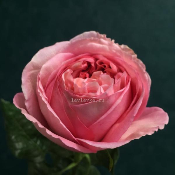 Роза пионовидная пинк экспрешн 50 см, пионовидная роза, пионовидные розы, роза пинк экспрешн, роза пионовидная, розовая пионовидная роза,