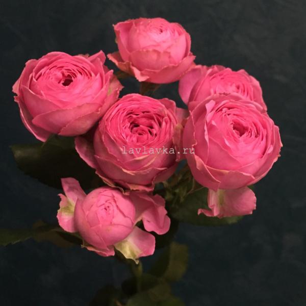 Роза пионовидная кустовая жизель 70 см, кустовая пионовидная роза, кустовая роза, кустовые розы, пионовидные розы, роза жизель, розовая кустовая роза, розовые розы, розы,