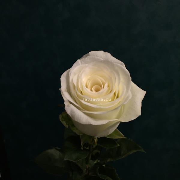 Роза импорт альба 50 см, белая роза, роза альба, роза с крупным бутоном, розы, цветы на 14 февраля, цветы на 8 марта,