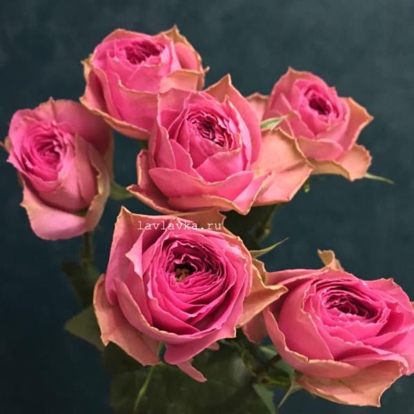 Роза пионовидная кустовая пинк бижу 60 см, кустовая роза, роза кустовая пионовидная, роза пинк бижу, роза пионовидная, роза холодный розовый, розовая пионовидная роза,